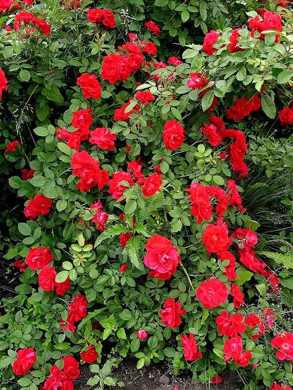 Цветы роза плетистая купить украина, круглосуточная екатеринбург эльмаш