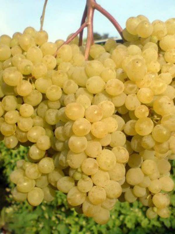 работы будут виноград мираж описание сорта фото описание фото найдете