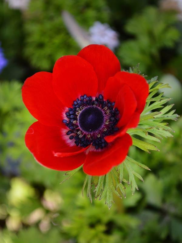 Цветы анемоны купить в москве, артишок самаре