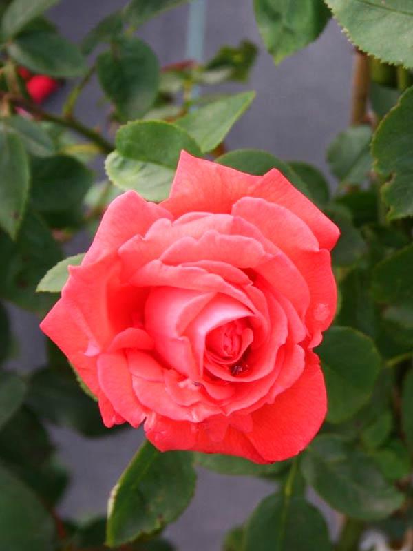 Картинки по запросу Покупка саженцев роз в интернет магазине «Світ Рослин»