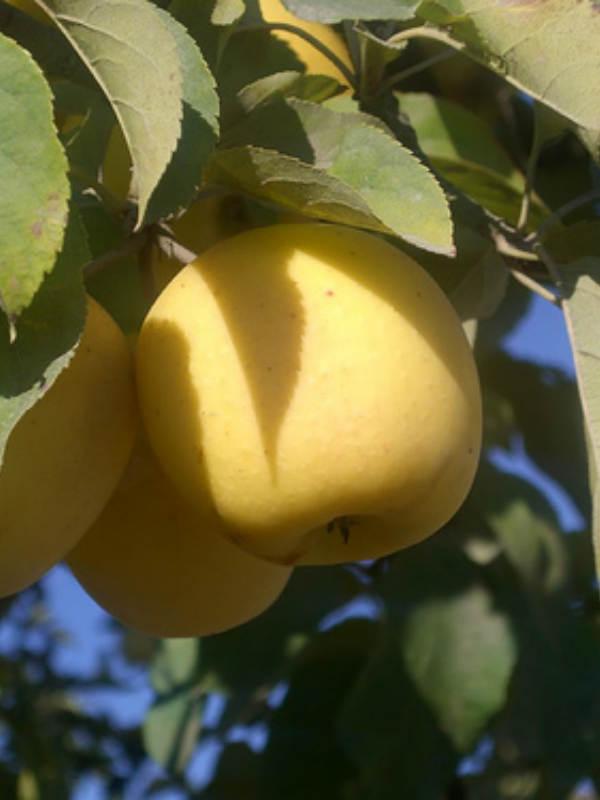 показать яблоня делишес спур описание фото почти второй