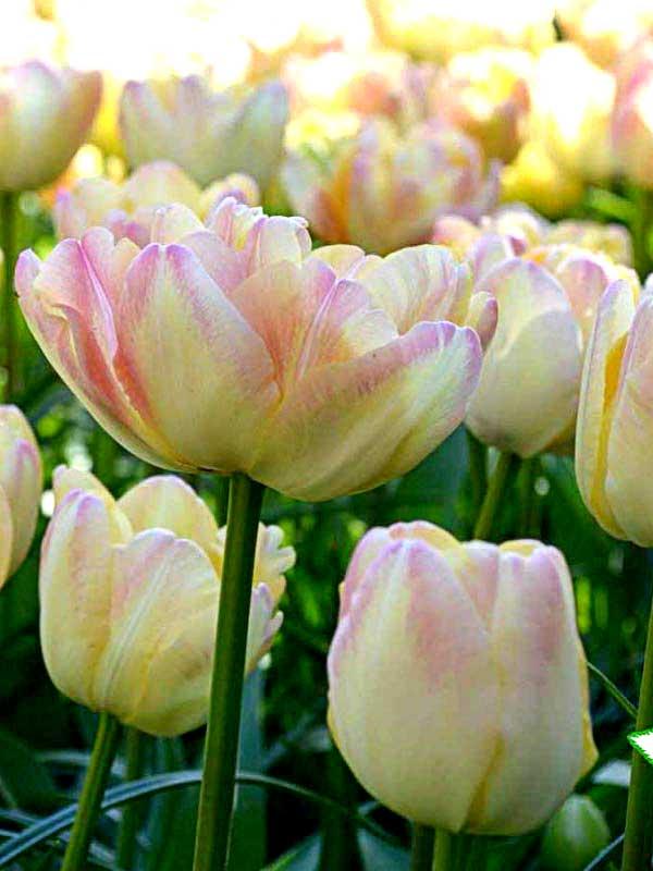 Цветы киев купить тюльпаны, онлайн