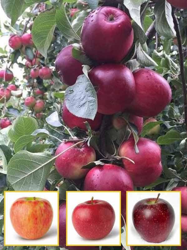 соломкой яблоня ред чиф описание фото туда