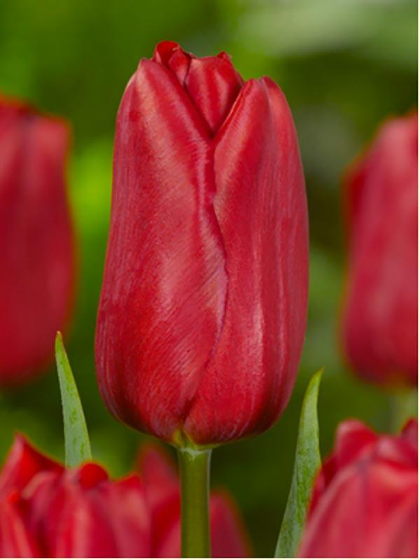 тюльпаны strong love фото
