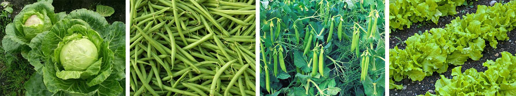 Літня посадка овочів