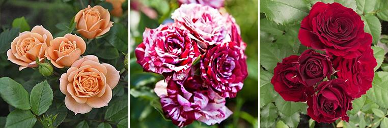Бордюрна троянда