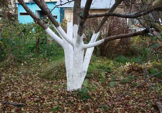 побілка для дерев