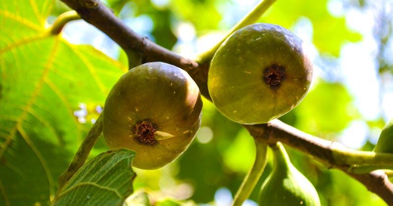 Экзотические фрукты которые можно выращивать в украине