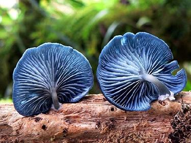 Рідкісні гриби