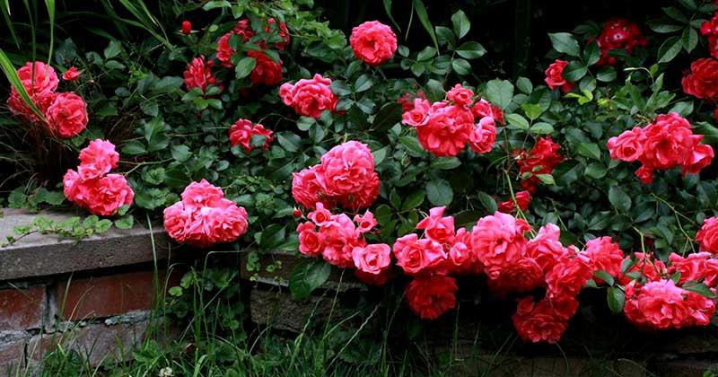 Розы обрезка