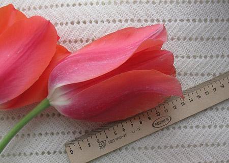 Гигантские тюльпаны