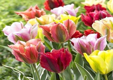 Голландсике зеленоцветные тюльпаны