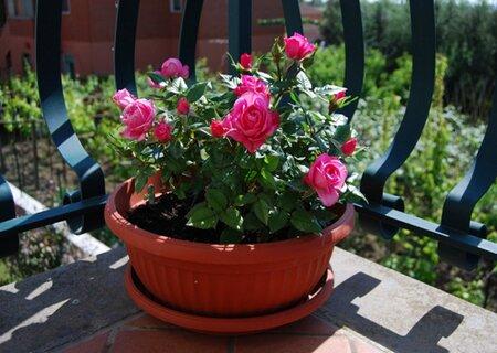 Розы в вазоне