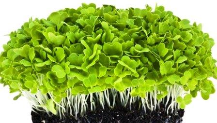 Насіння мікрозелені купити