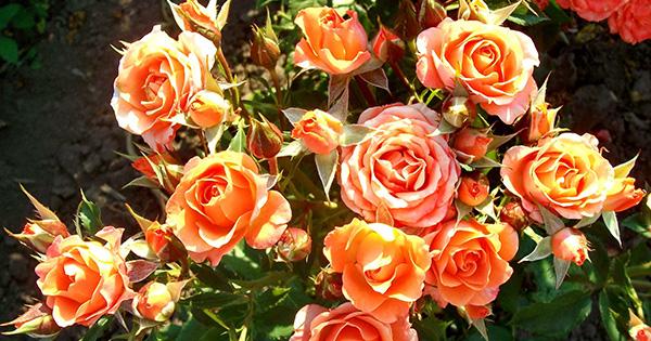 Дрібноквіткові троянди в Україні