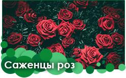 Розы саженцы предзаказ на весну
