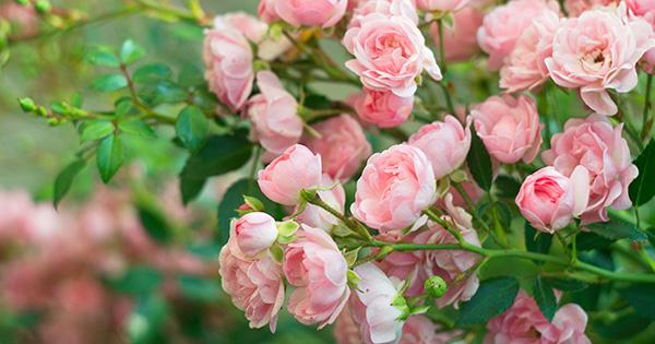 Саджанці дрібноквіткових троянд купити