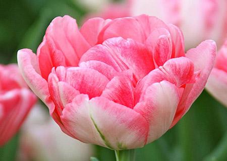 Ранний махровый тюльпан