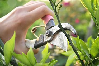 Черенкування рослин