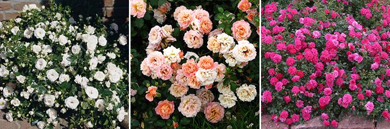 Придбати грунтопокривні троянди