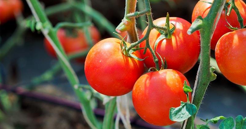 Когда сажать скороспелые томаты