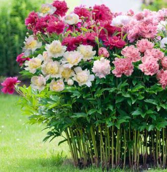 Купить цветы для посадки в киеве поздравления женщине 50 в подарок ягоды