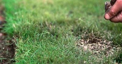 Підсіювання газону