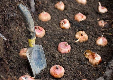 Луковицы тюльпанов Фостера