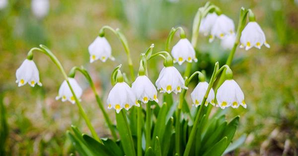 Цибулинні квіти в Україні