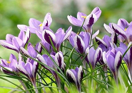 Ботанические крокусы весеннецветущие