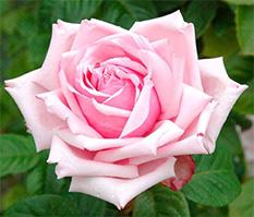 Придбати чайно-гібридну троянду