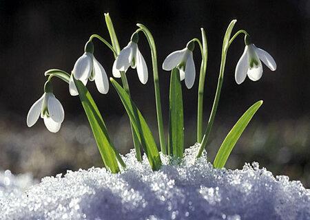 Проліски в снігу