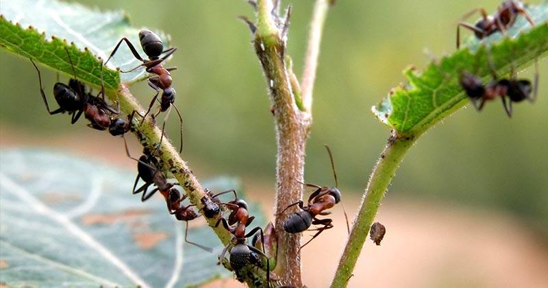 Боротьба з мурахами
