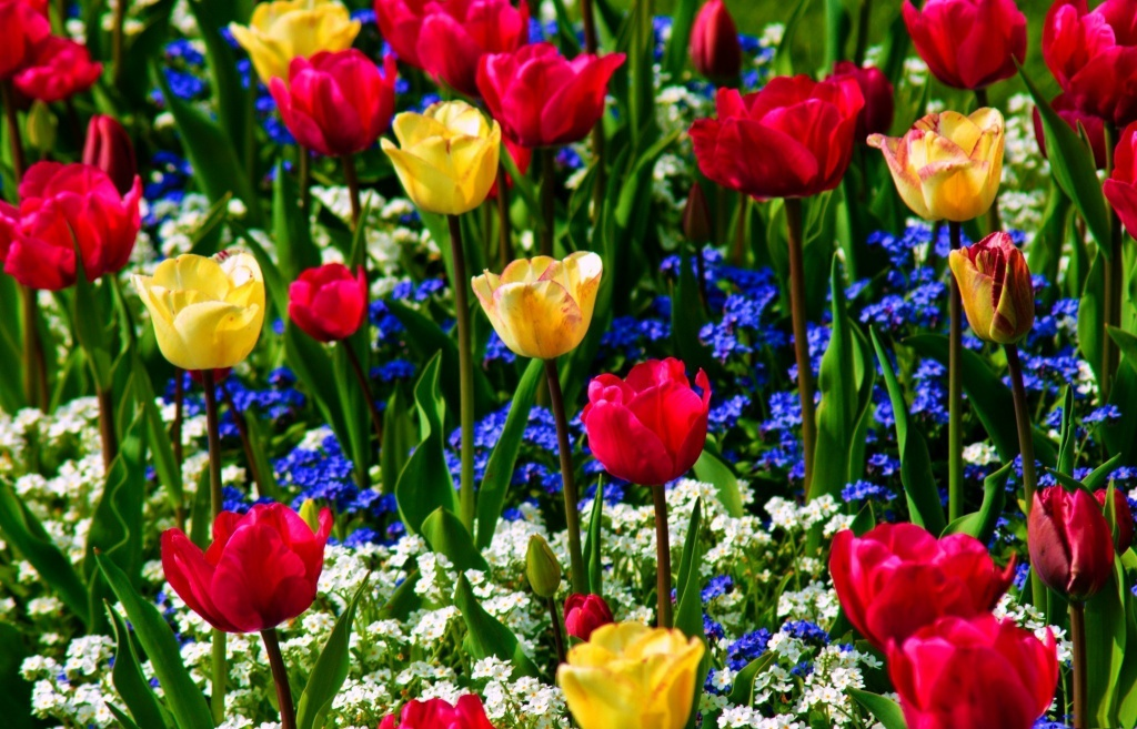 Nature_Flowers_Multi-colored_tulips_with_forget-me-nots_036245_.jpg