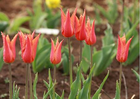 Лилиецветные тюльпаны из Голландии