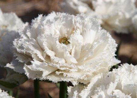 Махрово-бахромчатые тюльпаны