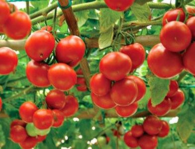 Томатне дерево насіння