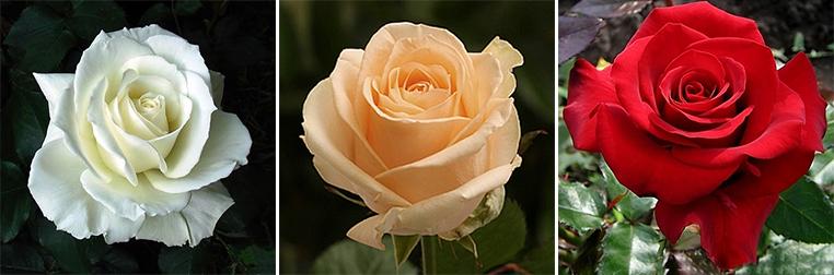 Чайно-гібридна троянда