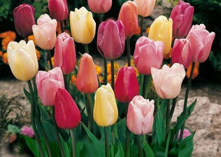 Сорта гигантских тюльпанов