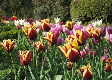 Тюльпани тріумф із Голландіїї
