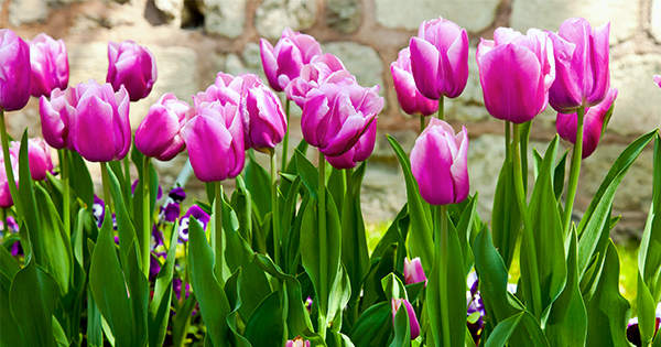 Купити цибулини тюльпанів