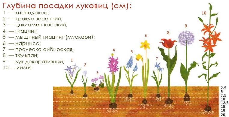 Правила посадки цибуллин