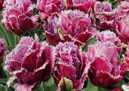 Махрово-бахромчатсые тюльпаны из Голландии