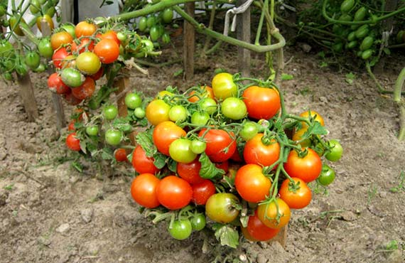 томати види