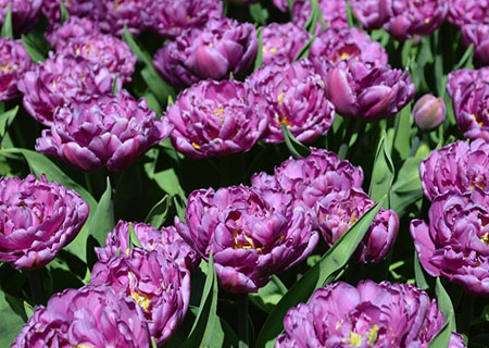 Поздний махровый тюльпан