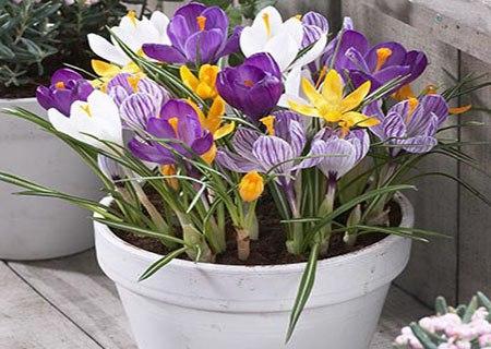 Крупноцветковые крокусы в горшке