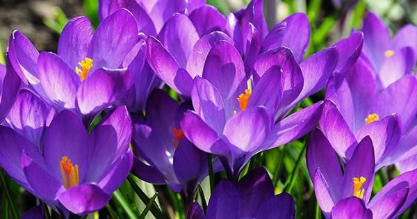 Цибулинні квіти