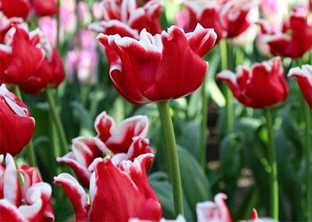 Волнистые тюльпаны