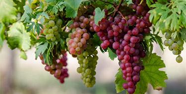 Морозостійкість винограду