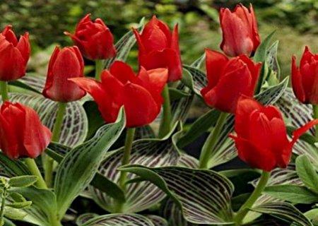 Тюльпаны Грейга. Сорт Ali baba.